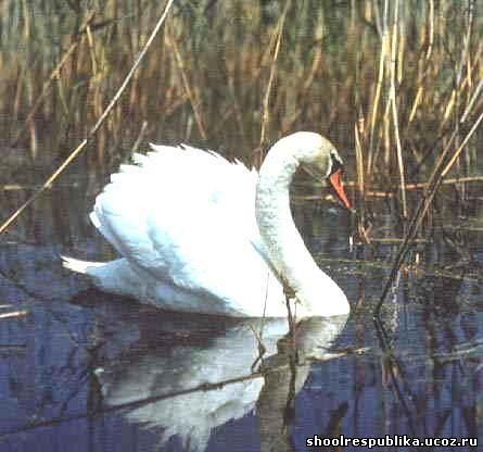 Пруду уже давно поселились лебеди в